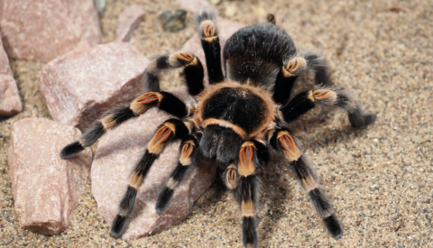 So, Your Kid Wants a Tarantula? Check-in With This Guide First!